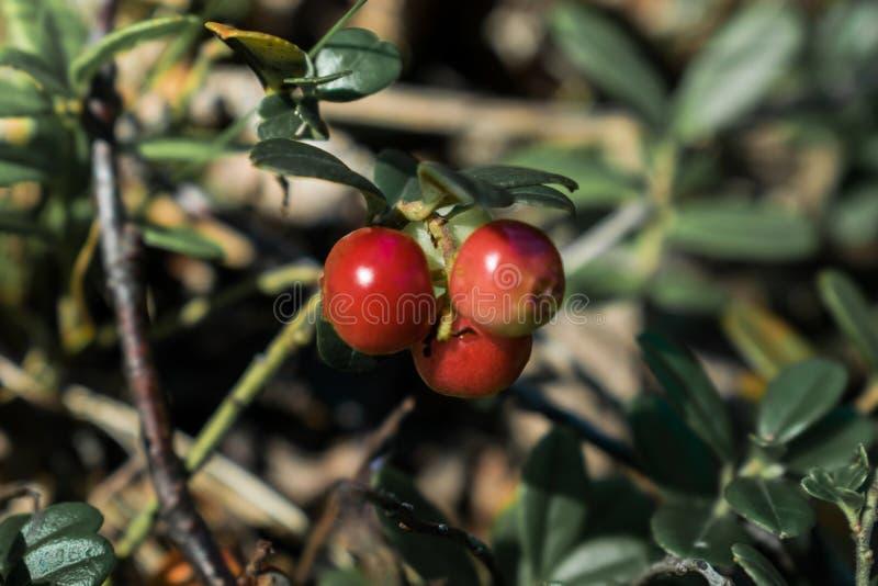 Växa för frukter på en grön glänta, nära bergen Gå på bergvägar royaltyfri bild