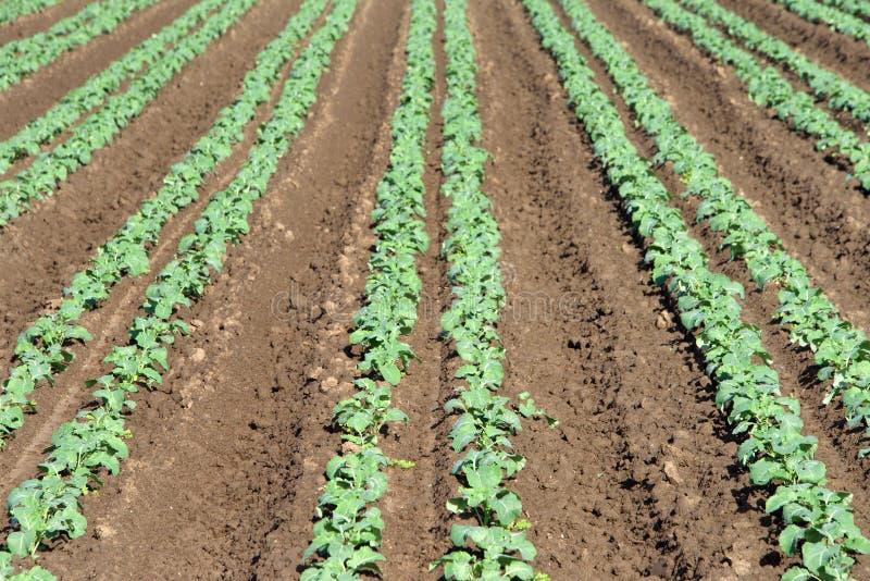 Växa för grönsaker i rader tätt upp arkivfoton