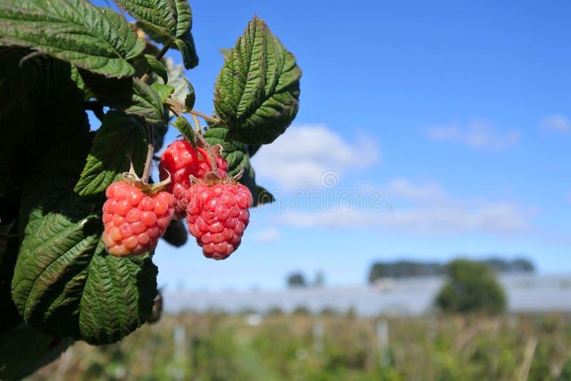 Växa för hallonfrukt i en lantgård royaltyfria bilder