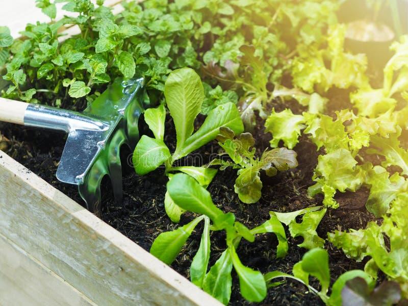 Växa för harv- och barngrönsaker i träsäng på trädgården royaltyfri fotografi