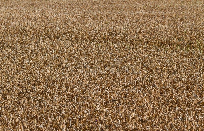 Växa för kornvete arkivfoton