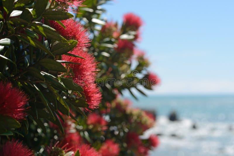 Växa för Pohutakawa blommor på en västkustenstrand royaltyfri fotografi