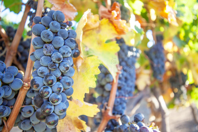 Växa för rött vinvin i Sydafrika fotografering för bildbyråer
