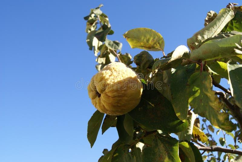 Växa för tropisk frukt för kvitten på en filial royaltyfria bilder