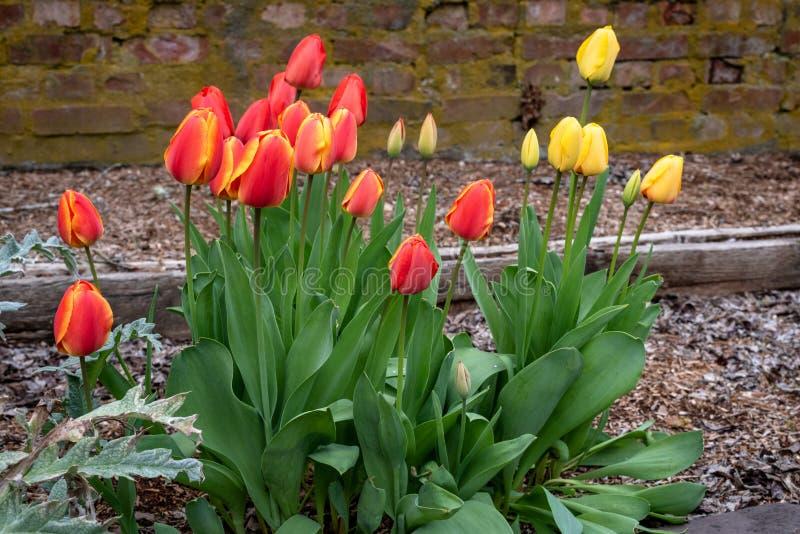 Växa för vårblommor i en hem- trädgård, gula tulpan och röda och gula tulpan, tegelstenvägg i bakgrunden, vår i arkivbild