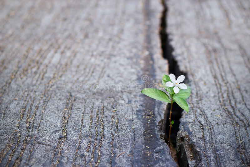 Växa för vit blomma på sprickagatan, mjuk fokus arkivfoto