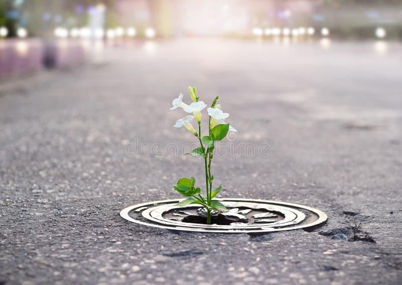 Växa för vit blomma på sprickagatan, mjuk fokus, tom text arkivbild