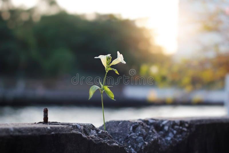 Växa för vita blommor på konkret barriär för spricka arkivbild