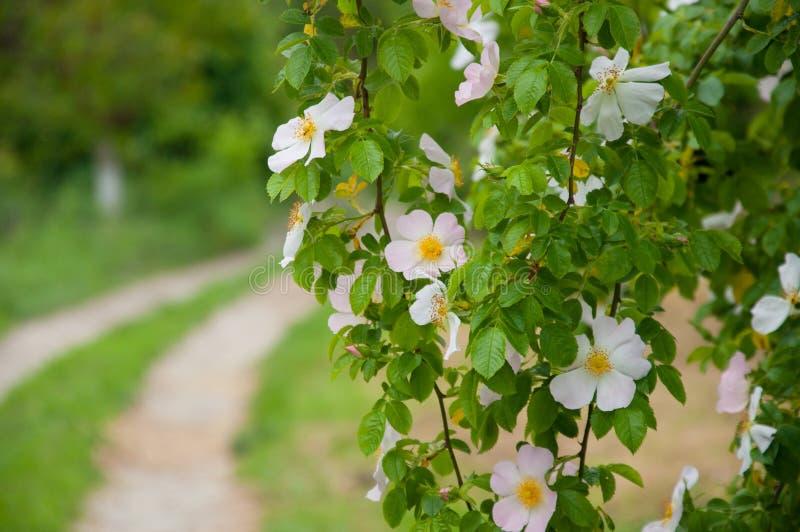 Växa för vita blommor på trädfilialer green leaves fotografering för bildbyråer