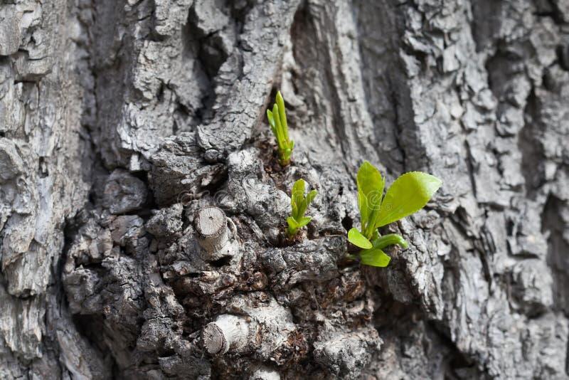Växa upp begrepp Det gamla poppelträdet med barn skjuter och gör grön sidor Stam för vårplatsgrå färger slapp fokus arkivfoto