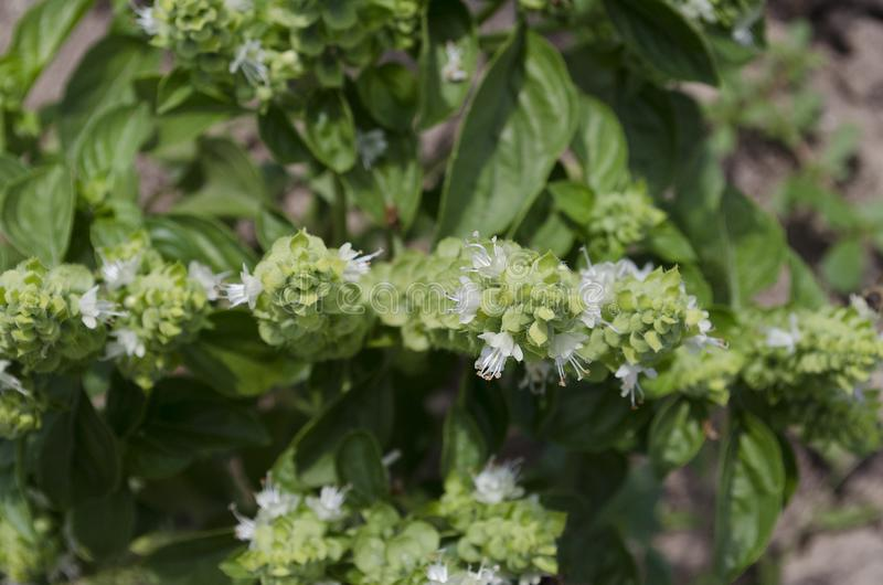 Växande bio grönsaker fotografering för bildbyråer