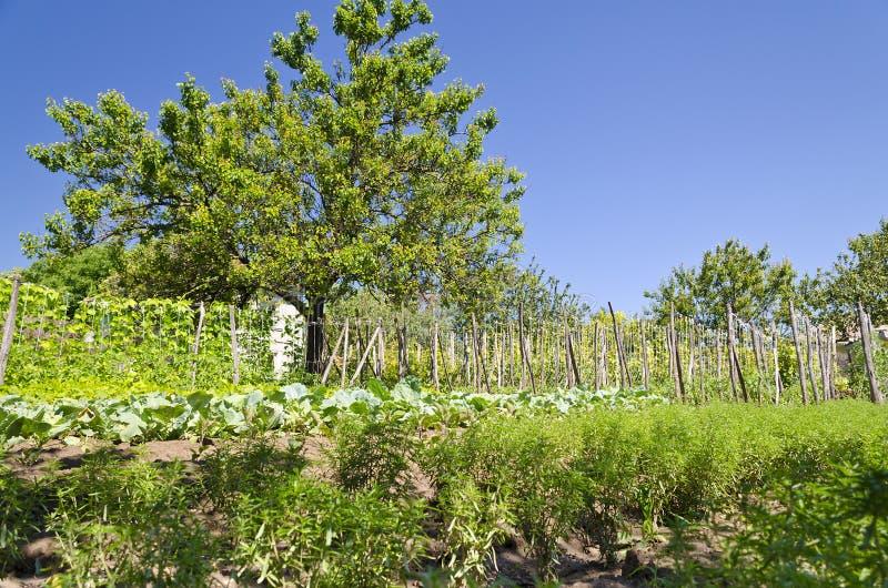 Växande bio grönsaker royaltyfri fotografi