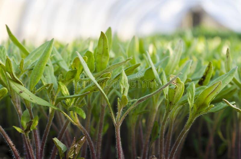 Växande bio grönsaker arkivbild