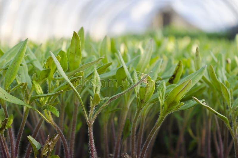 Växande bio grönsaker arkivfoto