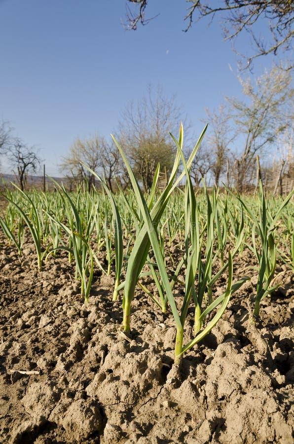 Växande bio grönsaker royaltyfri bild