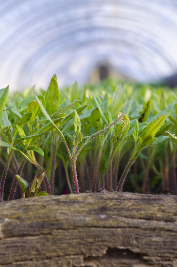 Växande bio grönsaker royaltyfria foton