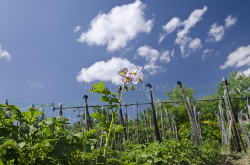 Växande bio potatisar i den nordliga Bulgarien arkivfoton