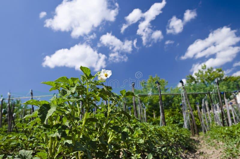Växande bio potatisar i den nordliga Bulgarien royaltyfria foton