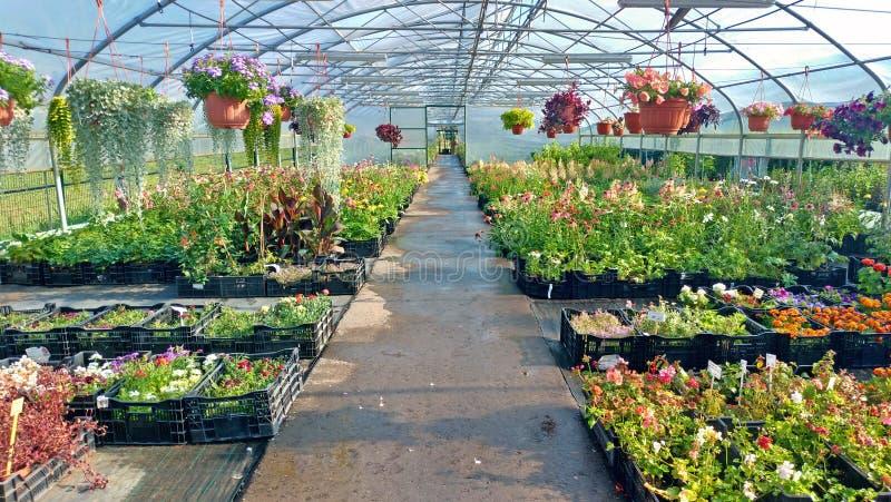 Växande blommor och gröna växter i ett växthus Produktion och odling av blommor Barn som planterar i ett växthus royaltyfri fotografi