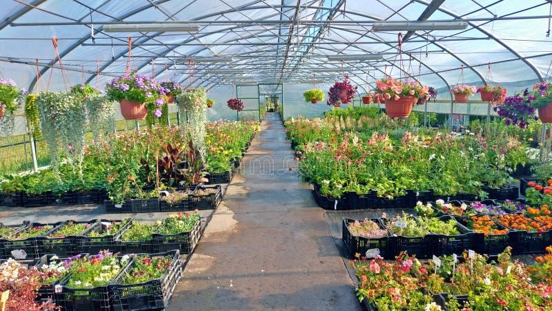 Växande blommor och gröna växter i ett växthus Produktion och odling av blommor Barn som planterar i ett växthus arkivbild