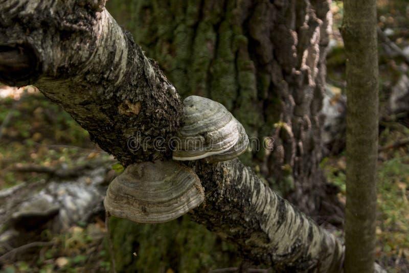 Växande chaga på trädet royaltyfri bild
