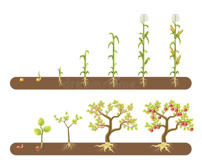 Växande etapper isolerad trädgård för havre- och tomatväxt stock illustrationer