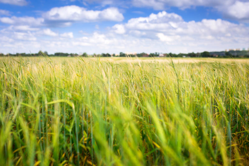 Växande grön veteåker på ängen arkivbild