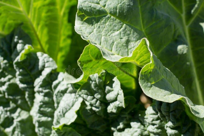 Växande gröna rabarbersidor arkivfoton