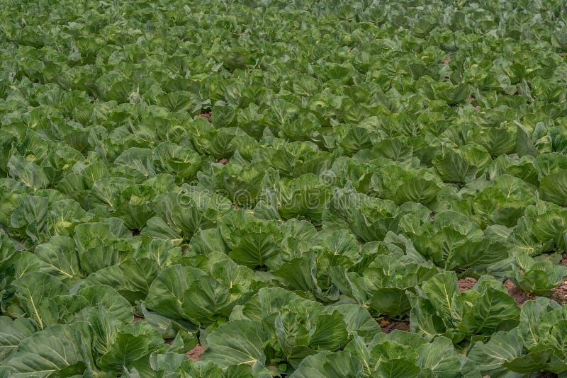 växande grönsak för kålfält arkivfoto