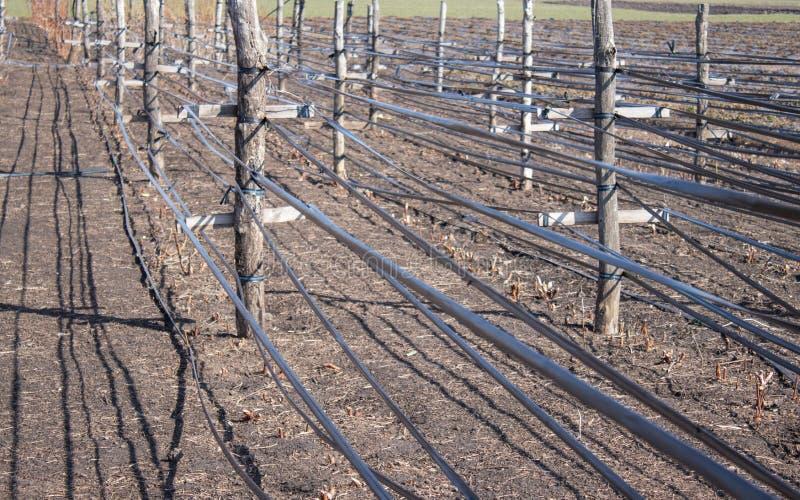 Växande hallon i rader, omsorg för hallonbuskar arkivfoto