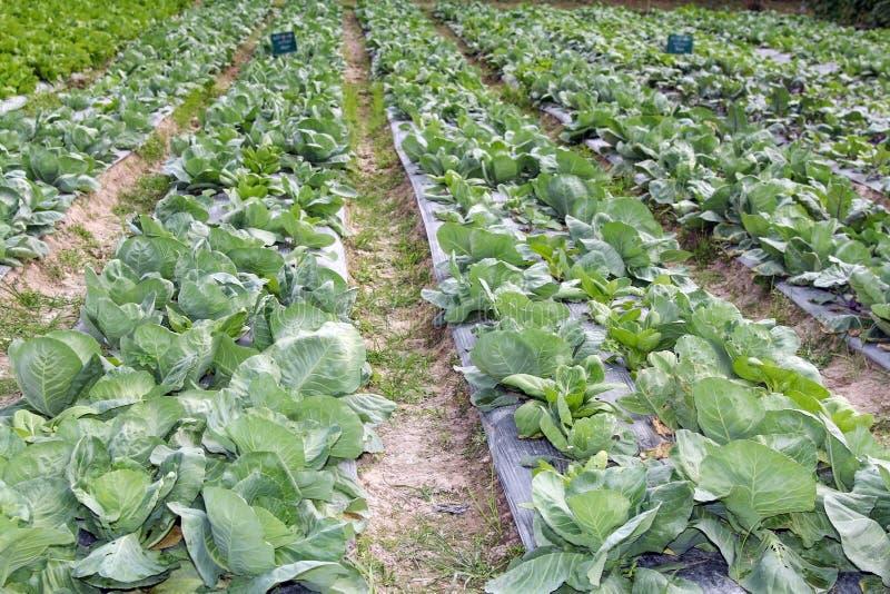 Växande kål i rader i grönsakträdgården, åkerbruk bransch royaltyfri fotografi