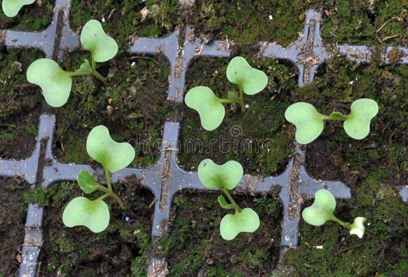 Växande kålplantor i plast- kassetter royaltyfria bilder