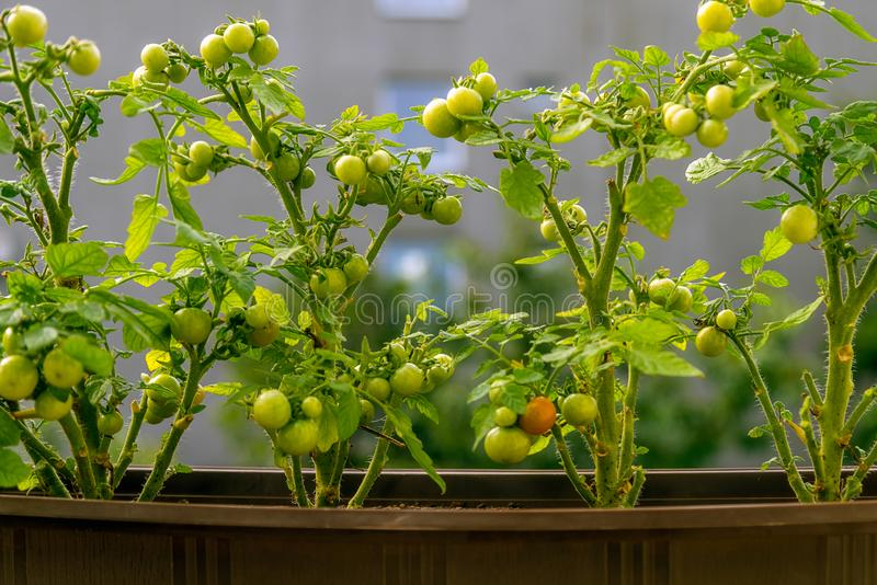 Växande körsbärsröda tomater på en balkong, stads- lantbruk royaltyfria foton