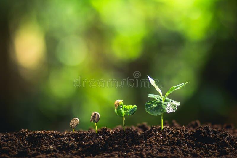 Växande kaffebönor som bevattnar naturligt ljus för ungt träd royaltyfria foton