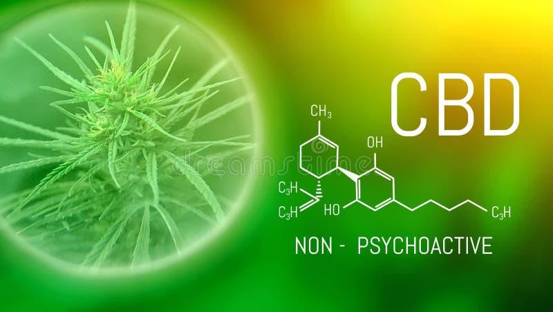 Växande kommersiell medicinsk cannabis Växt- begrepp för alternativ medicin CBD-oljaCannabidiol kemisk formel Växa högvärdigt fotografering för bildbyråer