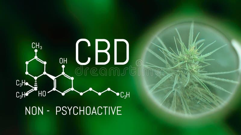 Växande kommersiell medicinsk cannabis Växt- begrepp för alternativ medicin CBD-oljaCannabidiol kemisk formel Växa högvärdigt arkivfoto