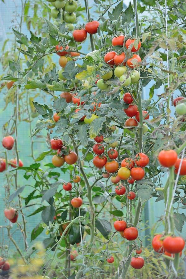 Växande kultur, tomater arkivbild