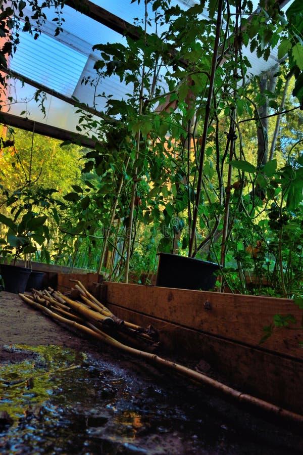 Växande kultur, tomater royaltyfria foton
