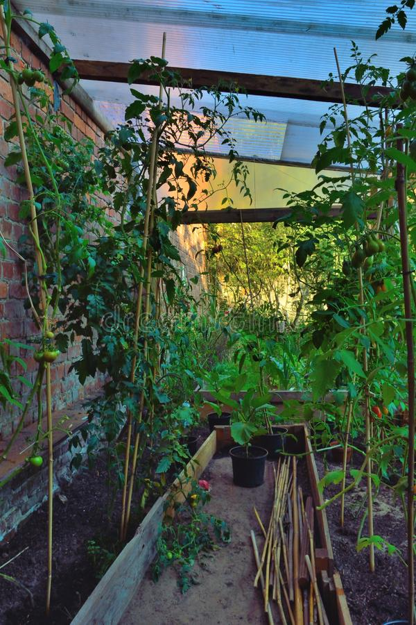 Växande kultur, tomater arkivfoton