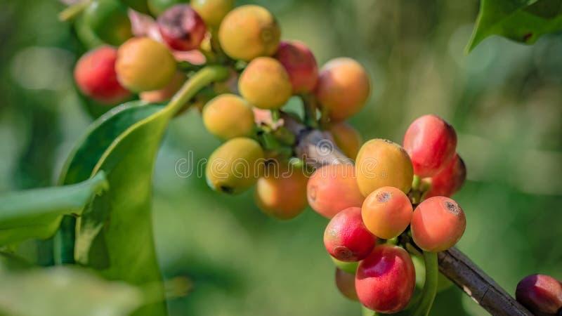 Växande nya röda Cherry Coffee Bean royaltyfria foton
