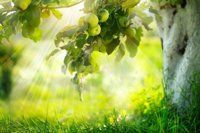 Växande organiska äpplen fotografering för bildbyråer