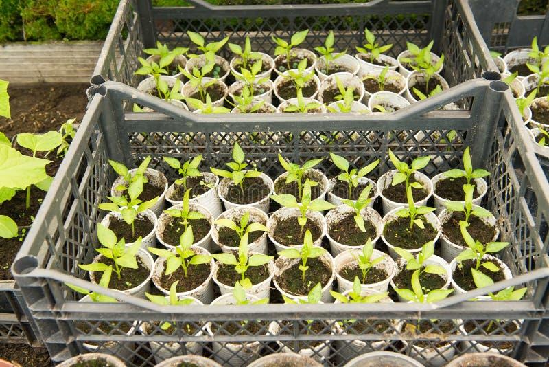 Växande peppar i växthus, royaltyfri bild