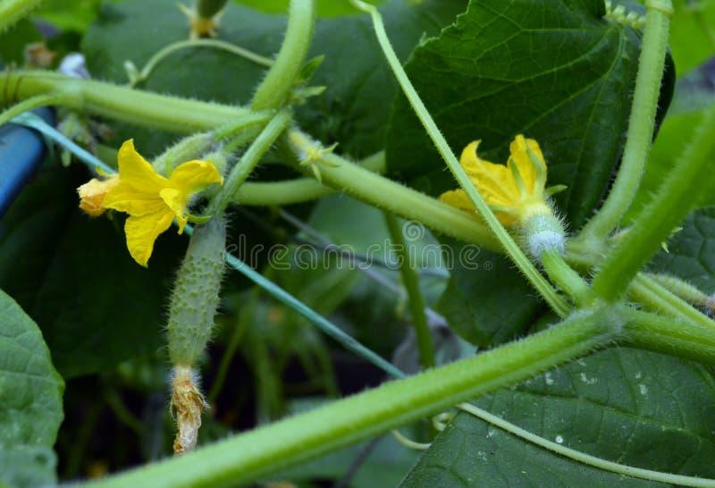 Växande plan för gurka för mat för closeup för sund för närbildvår organisk för sommar för flora för guling naturlig för vatten å arkivfoto