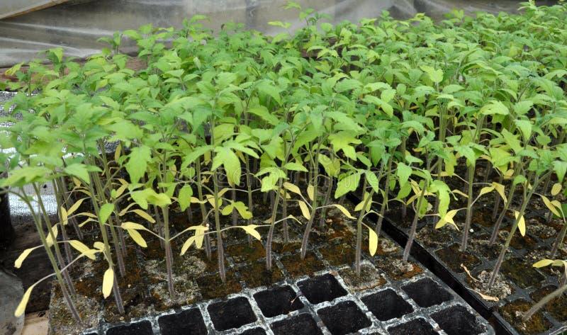 Växande plantor av tomater i plast- krukor och kassetter royaltyfri fotografi