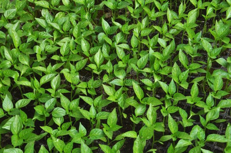 Växande plantor för söt peppar i ett växthus royaltyfri bild