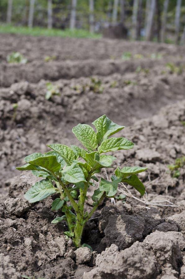 Växande potatisar i landet fotografering för bildbyråer