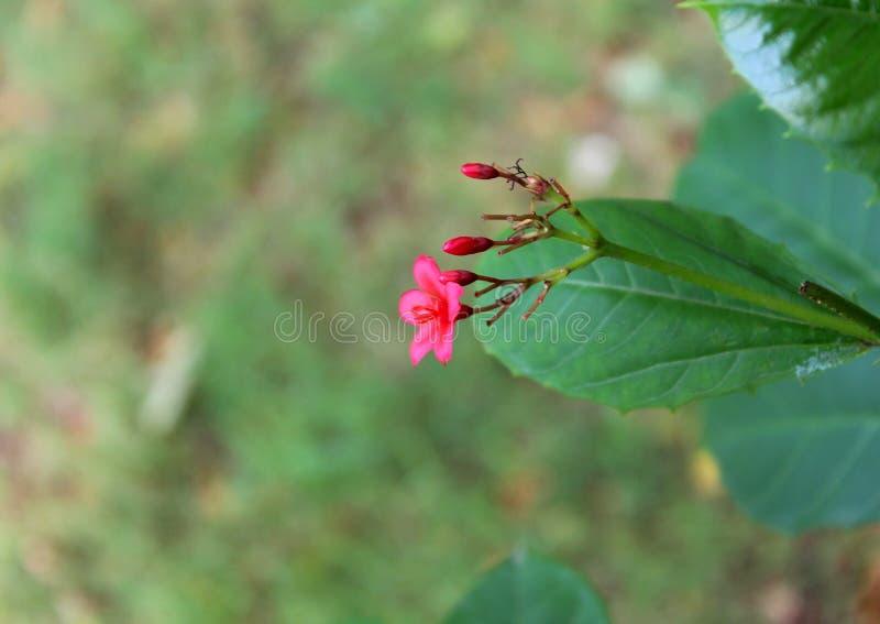 Växande små röda blommor med fem kronblad fotografering för bildbyråer