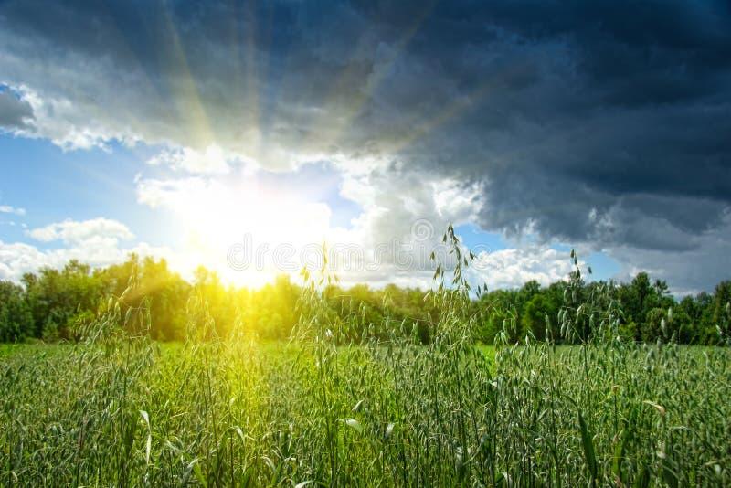växande sommar för fältkorn royaltyfri foto