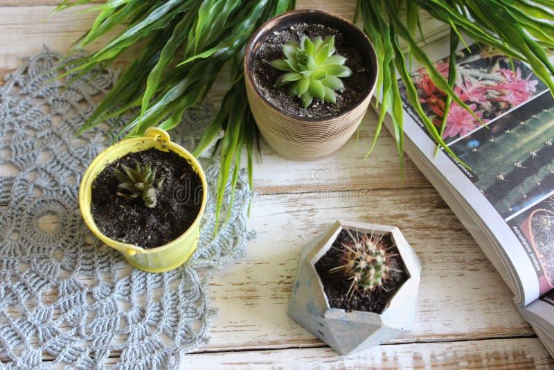 Växande suckulenter Kaktus sempervivum, havorthia på en trävit tabell royaltyfria bilder