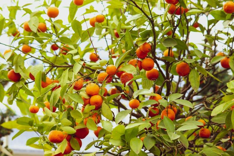 Växande tangerin stänger sikt i en trädgård arkivfoton